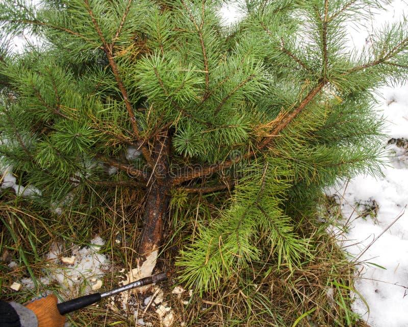 Het snijden van een Kerstboom royalty-vrije stock foto's