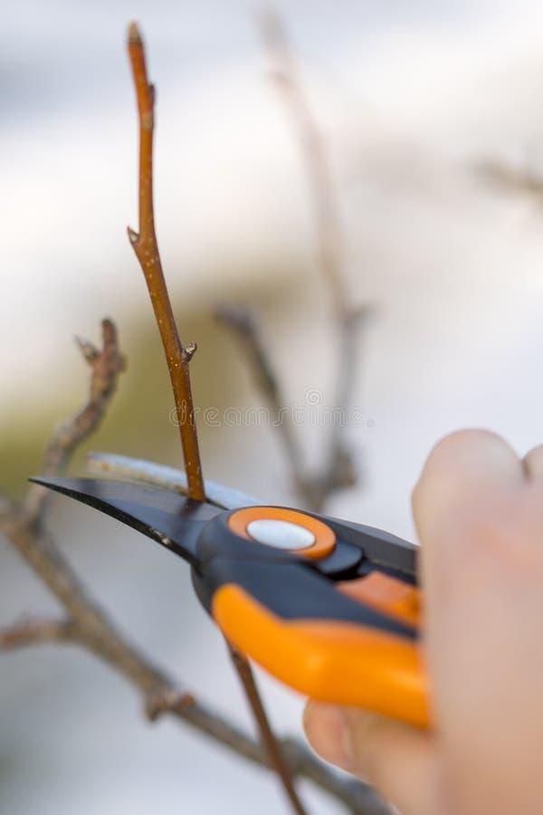 het snoeien met het snoeien van scharen in de lente Tuinman pruns de fruitbomen door prunerscharen Landbouwershand met tuinsnoeis stock fotografie