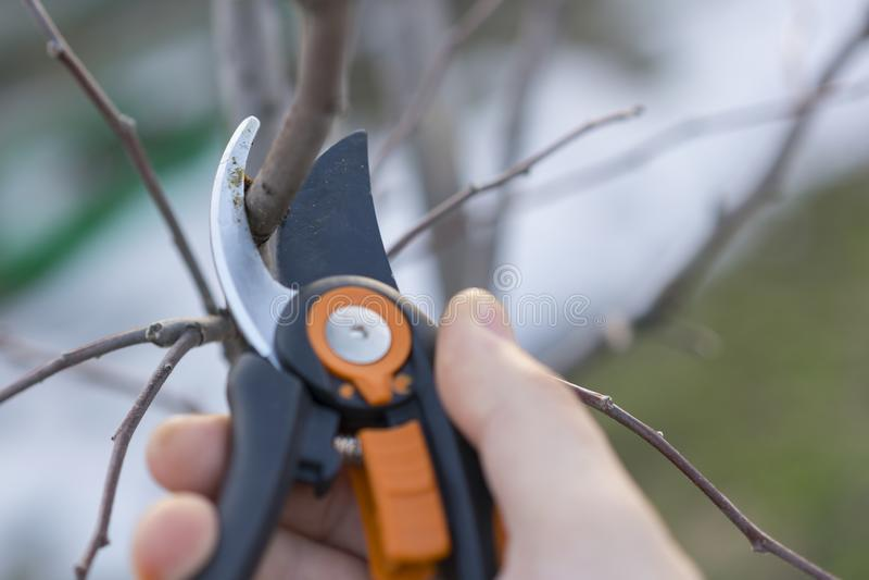 het snoeien met het snoeien van scharen in de lente Tuinman pruns de fruitbomen door prunerscharen Landbouwershand met tuinsnoeis stock afbeelding