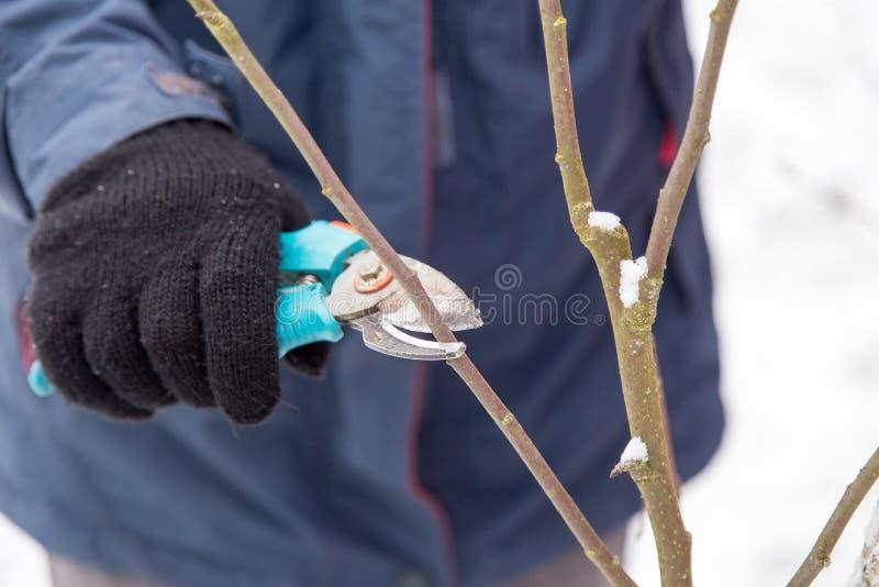 Het snoeien van bomen met snoeischaar in de tuin tijdens de winter royalty-vrije stock afbeelding