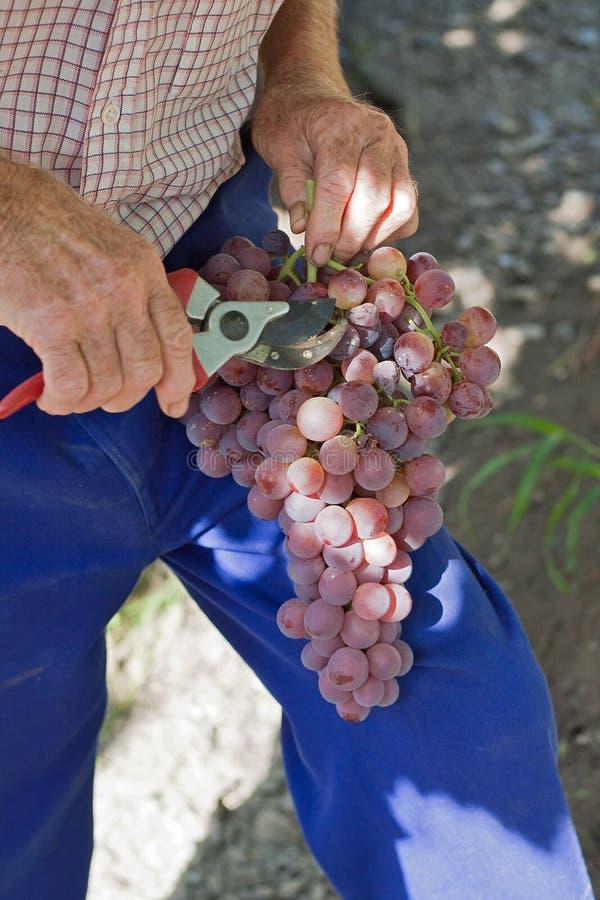 Het snoeien van de landbouwer druiven royalty-vrije stock afbeeldingen