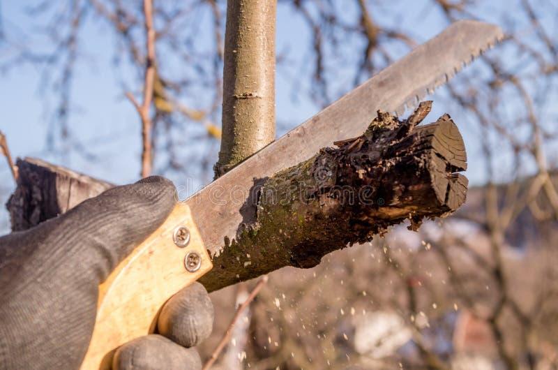 Het snoeien van jonge fruitbomen met een tuinzaag voor takken royalty-vrije stock foto