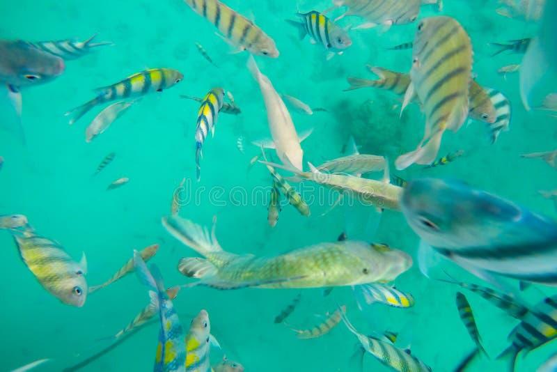 Het snorkelen Reizen, Vele kleurrijke overzeese vissen in Koh Chang, Trat, Thailand stock afbeeldingen
