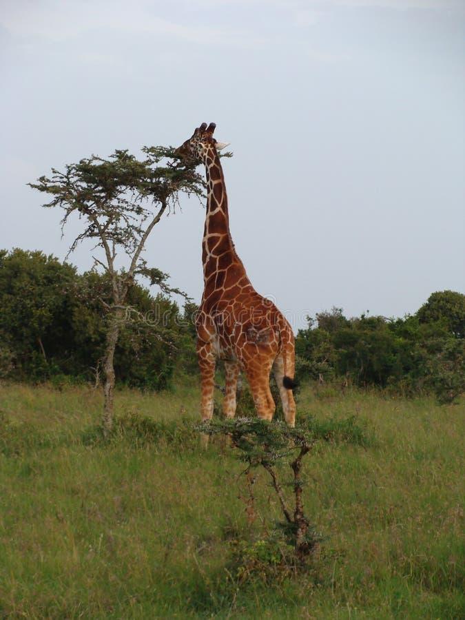 Het Somalische giraf eten stock fotografie