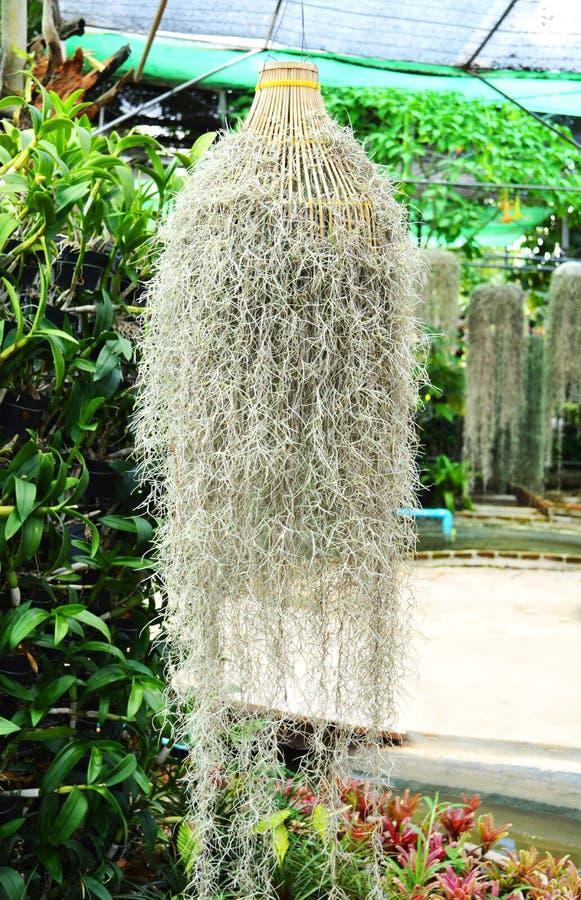 Het Spaanse mos hangen stock foto