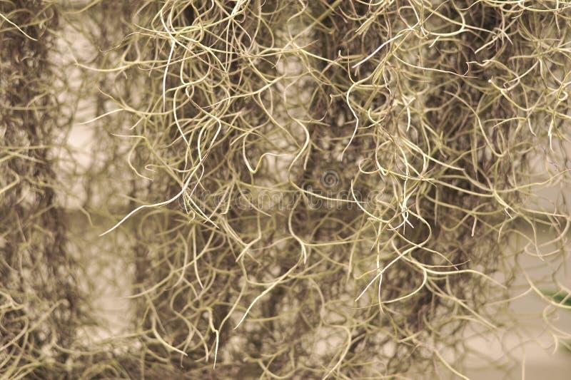 Het Spaanse mos of Tillandsia usneoides in tuin zijn natuurlijke gr. royalty-vrije stock foto