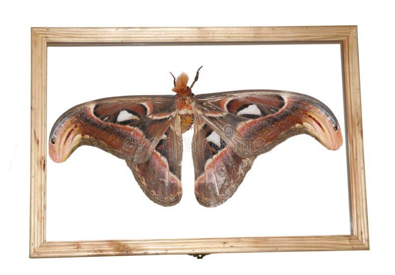Het specimen van de mot stock afbeeldingen