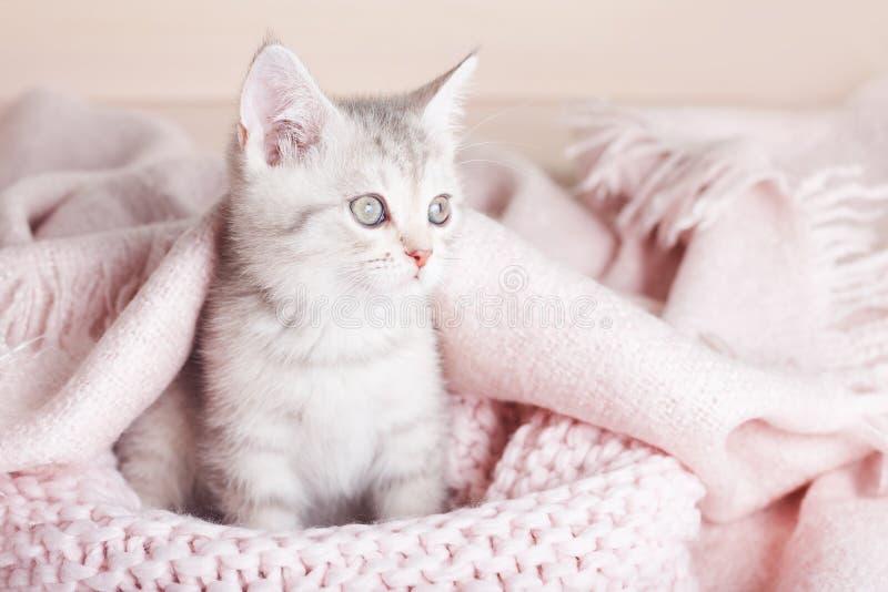 Het speelse grijze gestreepte katje zit op gebreide roze deken stock afbeelding