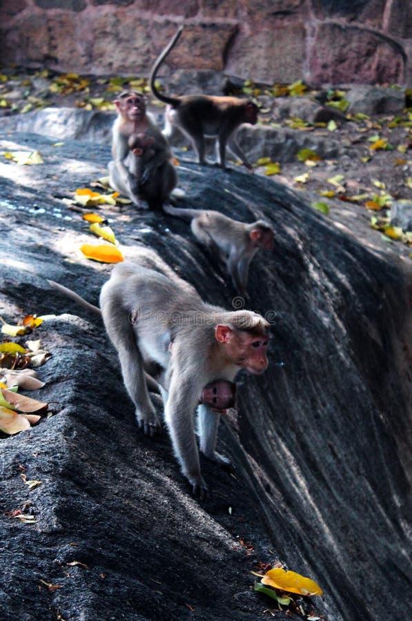 Het spelen apen in het fort van tirumayam stock afbeelding