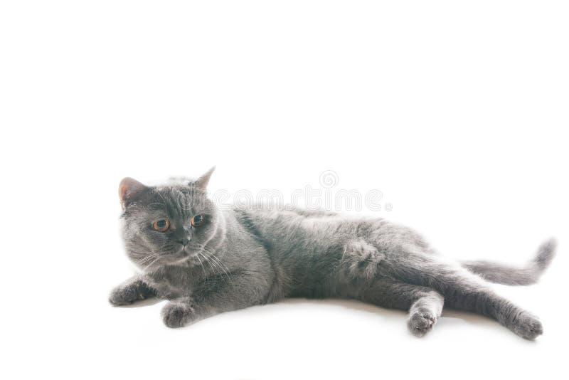 Het spelen grijze kat. stock foto's