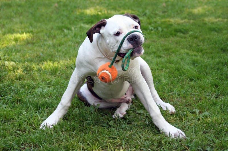 Het spelen Hond stock fotografie