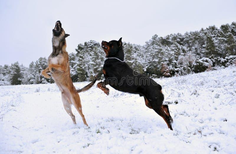 Het spelen honden stock afbeeldingen