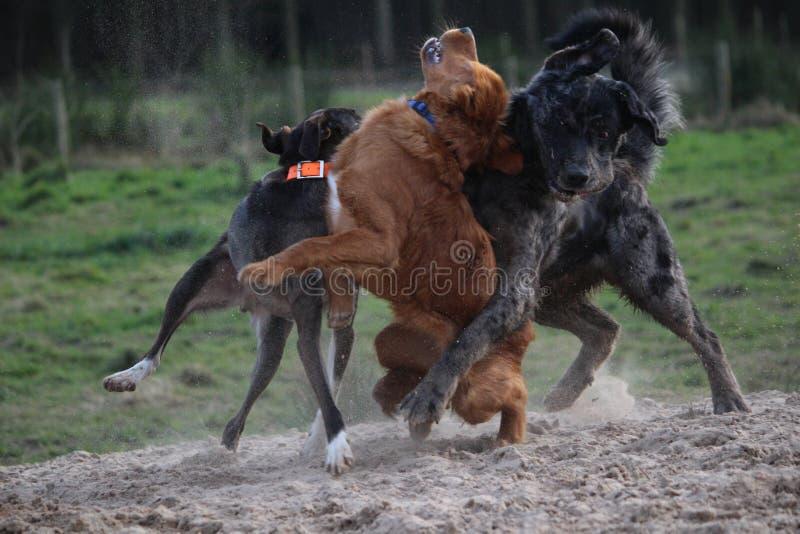Het spelen honden royalty-vrije stock afbeeldingen
