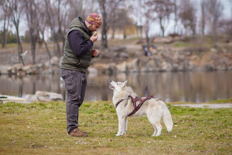 Het spelen met hond Siberische schor royalty-vrije stock afbeelding