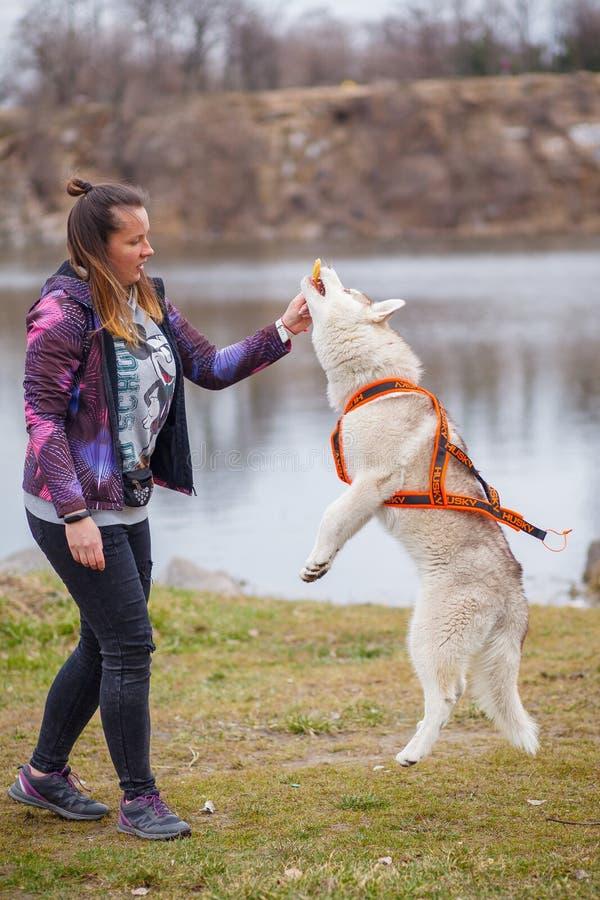 Het spelen met hond Siberische schor royalty-vrije stock foto's
