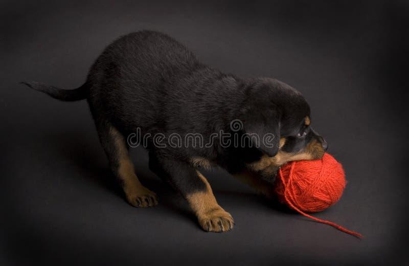 Het spelen Puppy stock fotografie