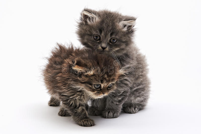 Het spelen twee katje op de witte achtergrond royalty-vrije stock foto's