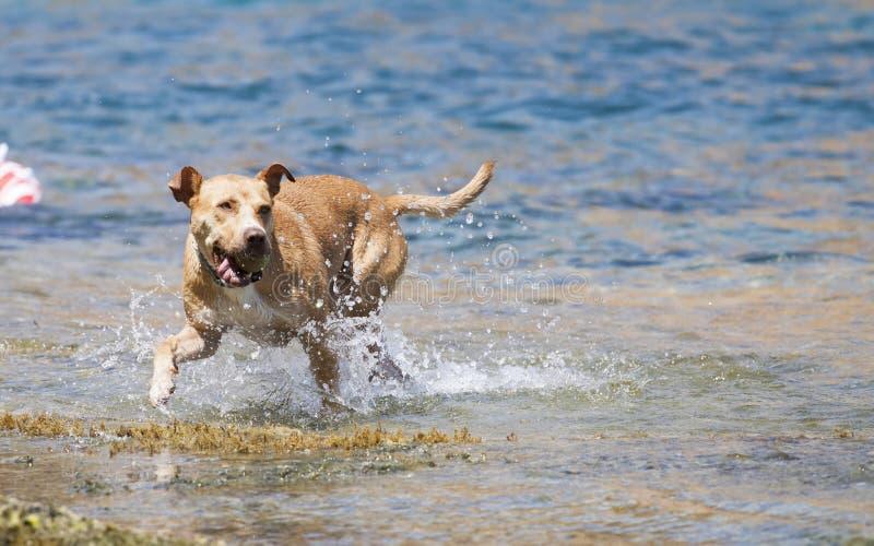 Het Spelen van de hond in het Water royalty-vrije stock afbeelding
