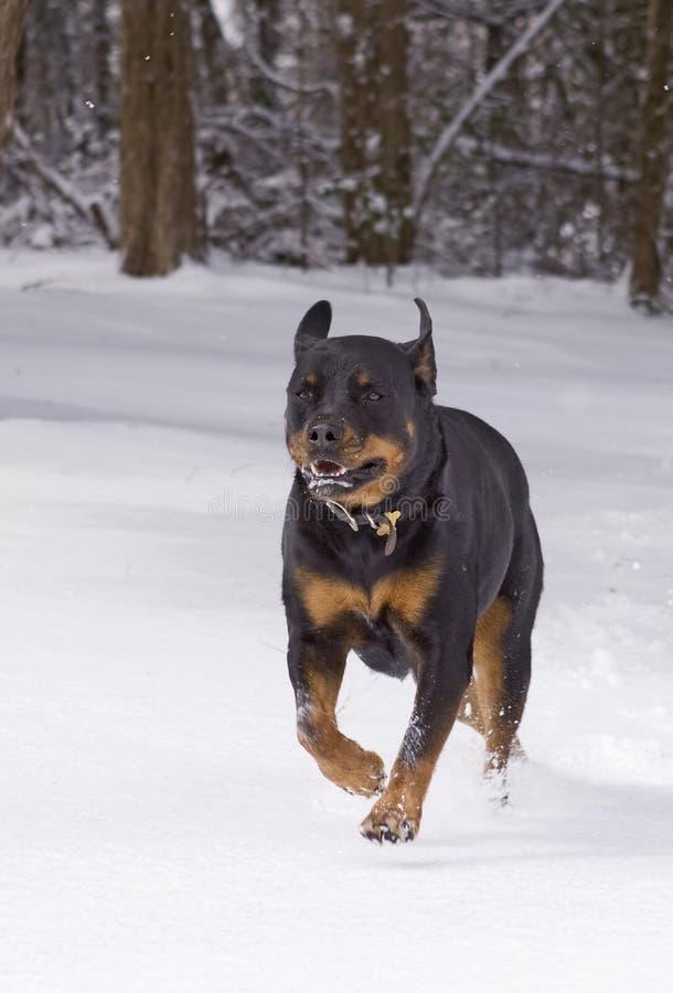 Het spelen van de hond in sneeuw stock afbeeldingen