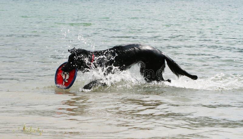 Het spelen van de hond in water met freesby royalty-vrije stock foto