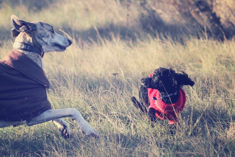 Het spelen van honden stock afbeeldingen