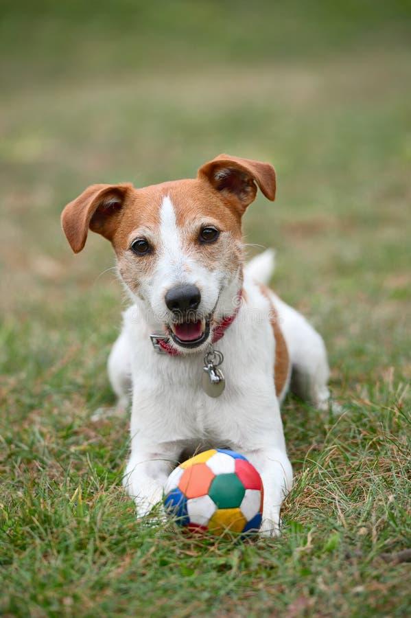 Het spelen van Jack Russell Terrier van de predikant met bal stock foto