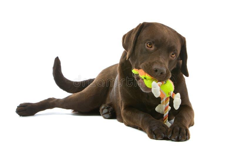 Het spelen van Labrador van de chocolade royalty-vrije stock foto's