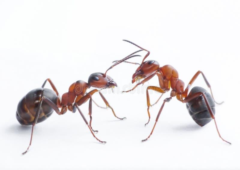 Het spelen van mieren royalty-vrije stock fotografie