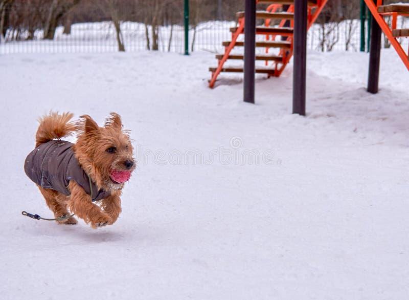 Het spelen van Norwich Terrier buiten in de winter, lege ruimte royalty-vrije stock fotografie