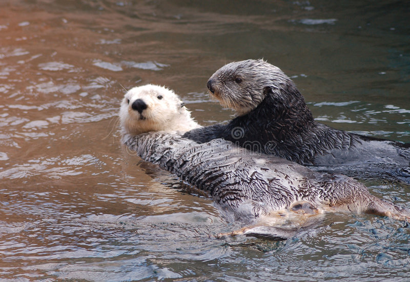Het spelen van otters stock afbeeldingen