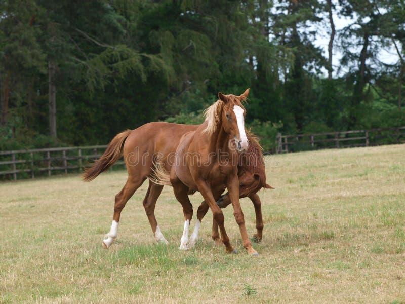 Het Spelen van paarden royalty-vrije stock fotografie