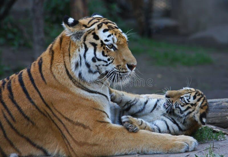Het spelen van Tigermother met zijn kind royalty-vrije stock foto's