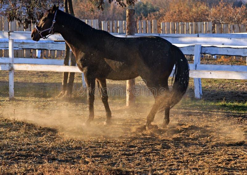 Het spelstof van het portret zwart paard stock afbeeldingen