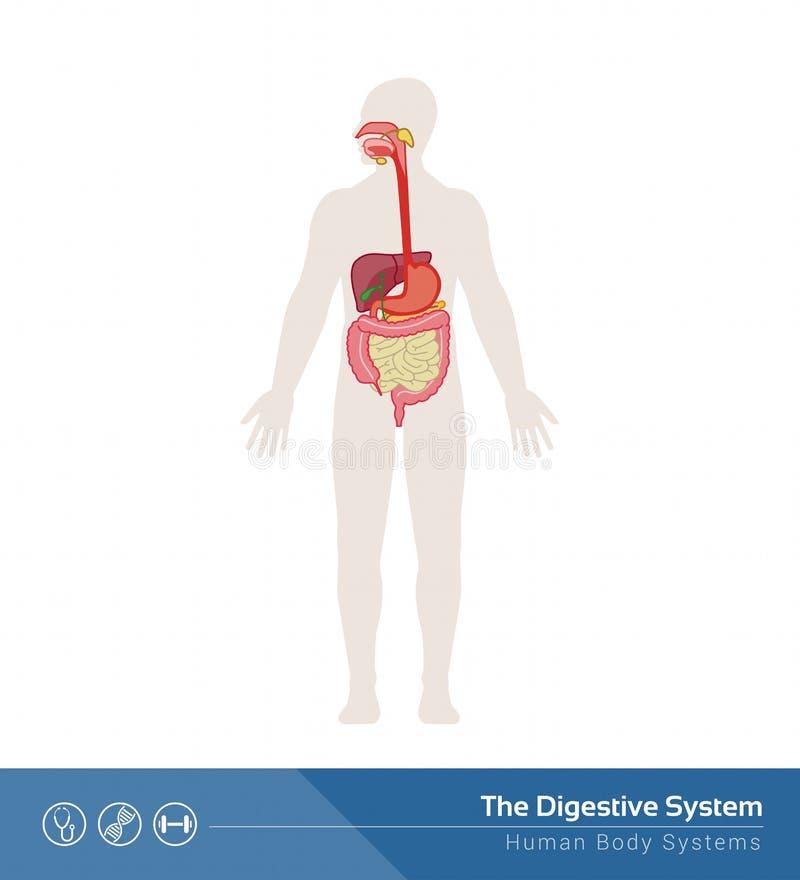 Het spijsverteringssysteem stock illustratie