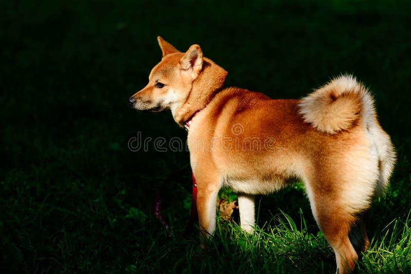 Het spitz-Type van Shibainu Japanse rassenhond in vlek van licht stock foto