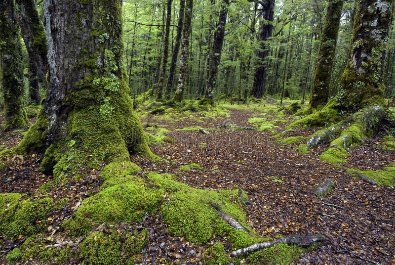 Het spoor door mos behandelde bomen, het Nationale Park van Fiordland, Zuideneiland, Nieuw Zeeland royalty-vrije stock afbeelding