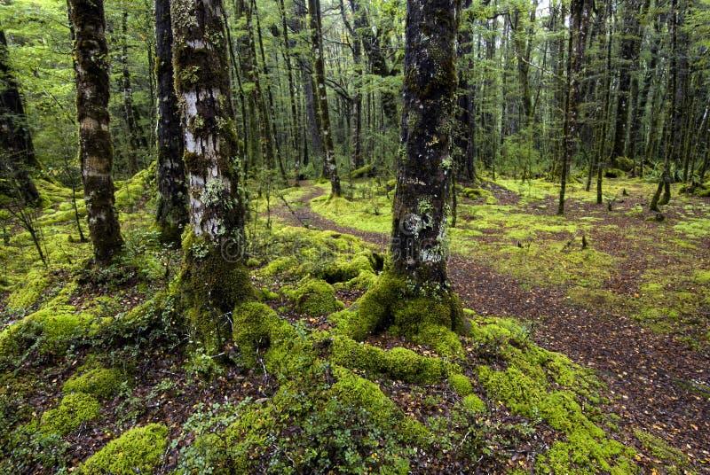 Het spoor door mos behandelde bomen, het Nationale Park van Fiordland, Zuideneiland, Nieuw Zeeland stock foto