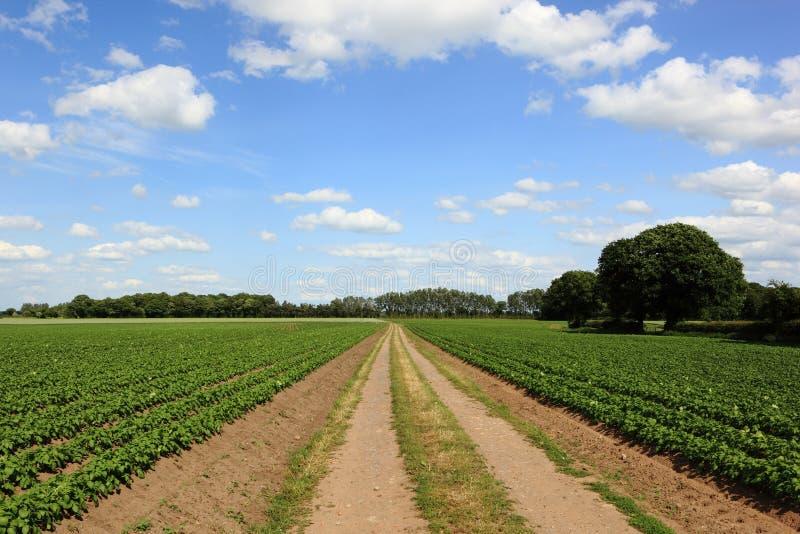 Het spoor van het vuillandbouwbedrijf door gebieden van aardappelplanten met mooie bomen in het de landbouwlandschap van Yorkshir stock foto's