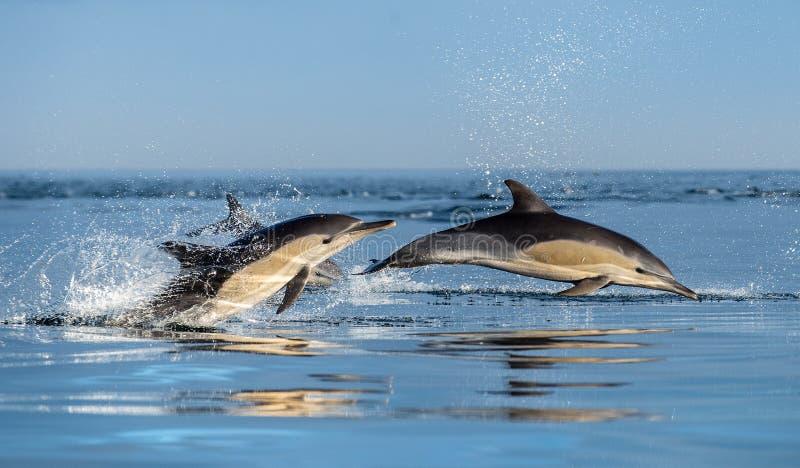 Het springen Dolfijnen in de Oceaan stock afbeelding