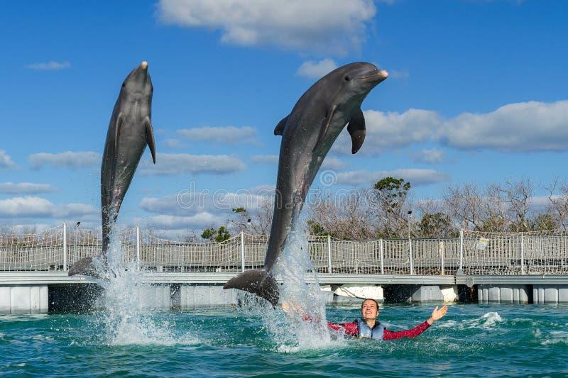 Het springen dolfijnen Vrouw die met dolfijnen in blauw water zwemmen stock afbeeldingen