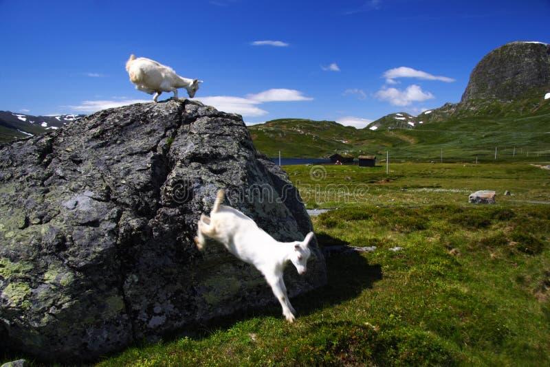 Het springen geiten in Noorwegen stock afbeelding