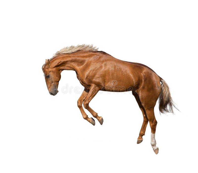Het springen jong paard royalty-vrije stock foto