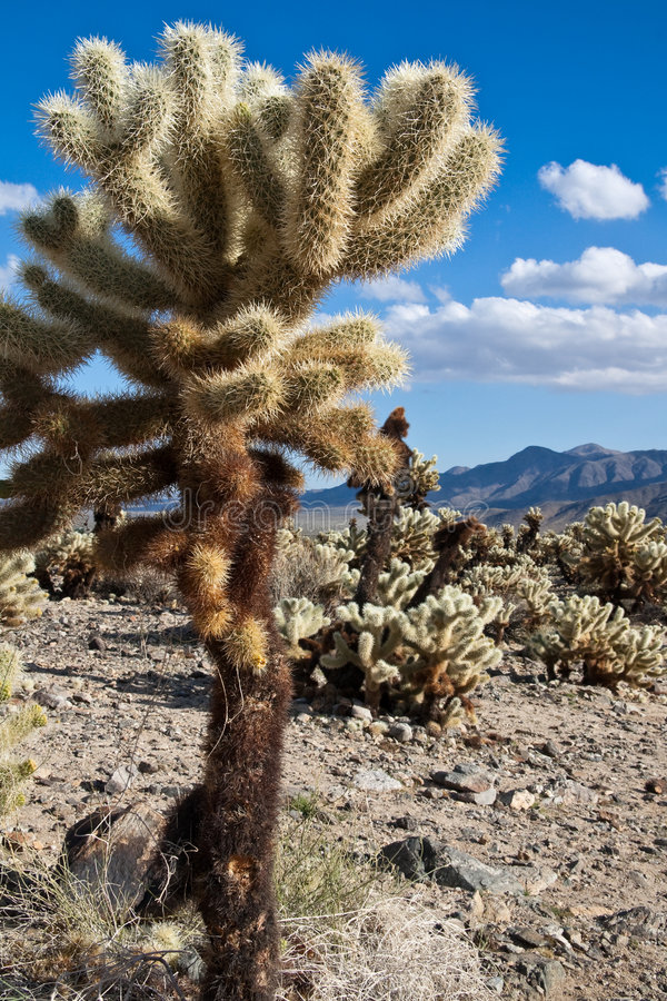 Het springen van Cactus Cholla in het Nationale Park van de Boom Joshua royalty-vrije stock afbeelding