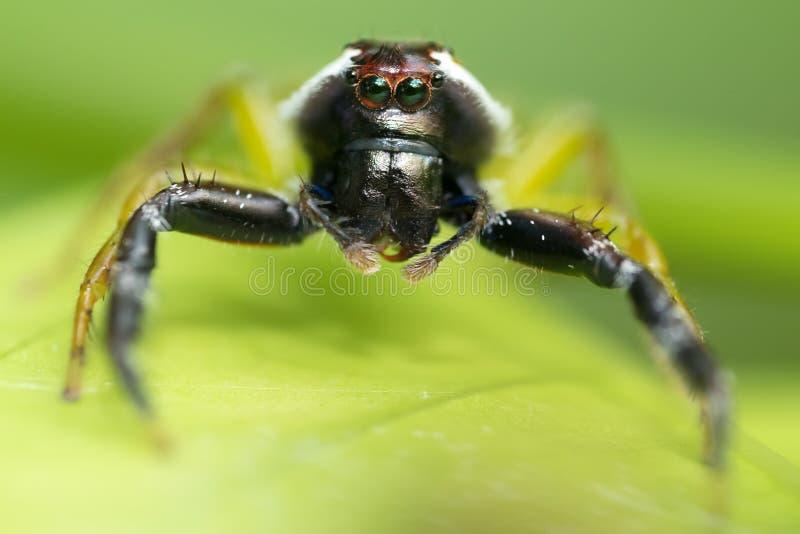 Het springen van spin met aapgezicht stock foto's