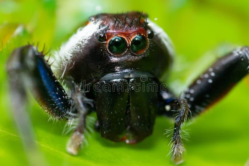 Het springen van spin met aapgezicht royalty-vrije stock foto