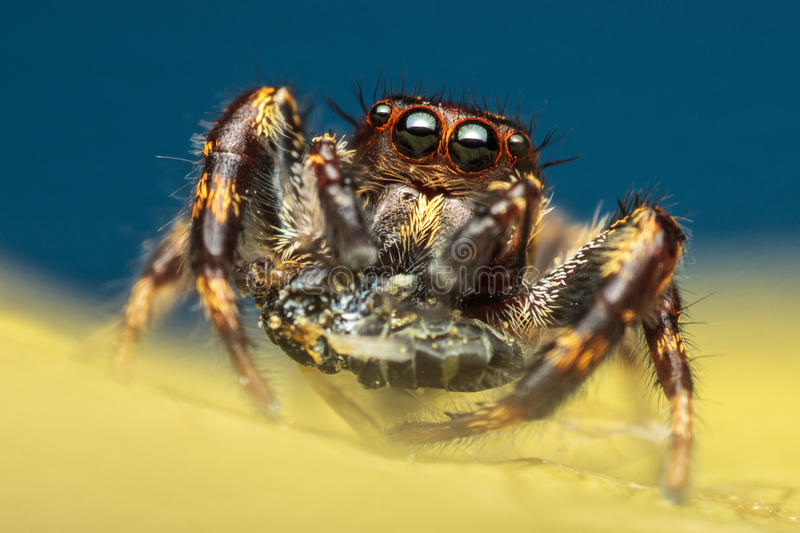 Het springen van spin met prooi stock afbeelding