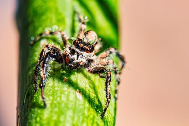Het springen van spin met waterdaling op hoofd stock fotografie
