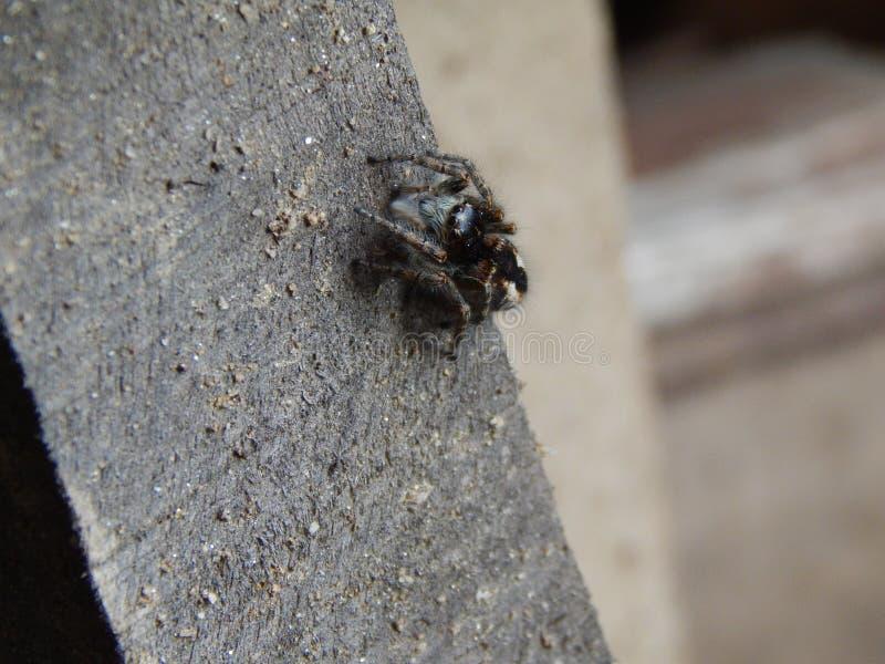 Het springen van spin op hout stock fotografie