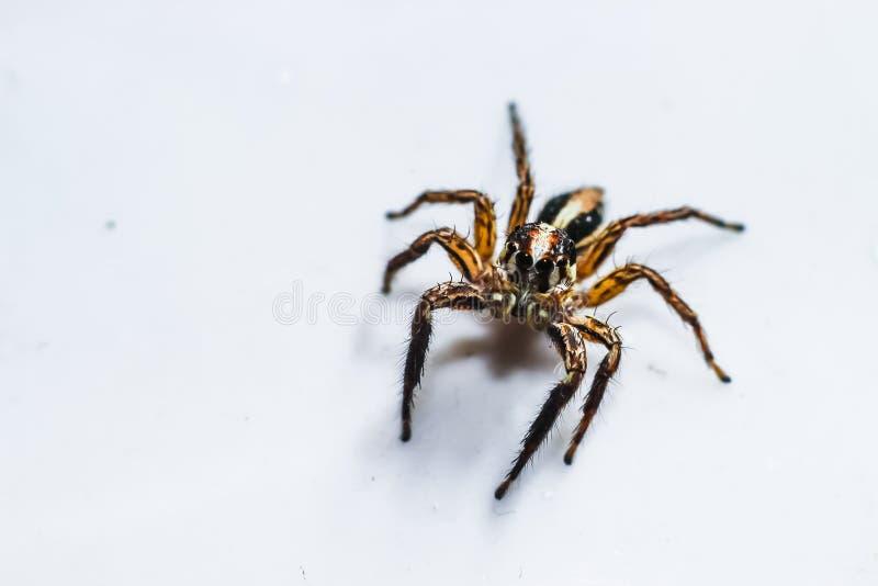 Het springen van spin op witte achtergrond royalty-vrije stock foto