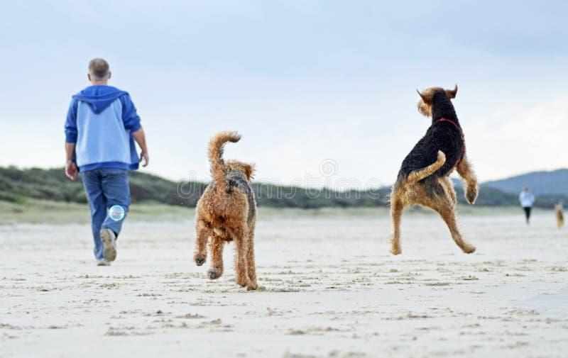 Het springen voor de vreugdemens & zijn honden die het spelen op zandstrand in werking stellen stock afbeelding